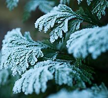 Icing Sugar Conifer by Gillian Cross