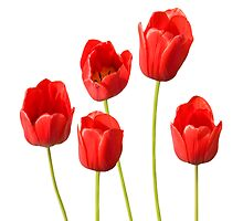 Red Tulips against a White Background Wall Art by Natalie Kinnear