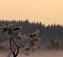 24.1.2012: Pine Tree by Petri Volanen