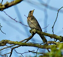 Fieldfare by VoluntaryRanger
