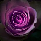 Purple rose flower closeup by Nadja Drieling