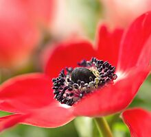 Another gorgeous Anemone... by Bob Daalder