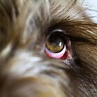 Italian Spinone ~ Ruben 5967 by heidiannemorris
