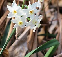 Paperwhite Narcissus by Mike Shell