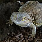 Spike the central bearded dragon! by Jackson  McCarthy