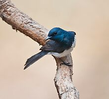 MALE LEADEN FLYCATCHER by DIZZYHEIGHTS