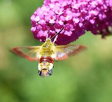 Hawkmoth by Trish Meyer