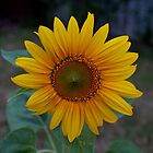 Home Sunflower by Stephen Monro