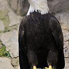 Bald Eagle by Sammy77