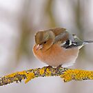 Chaffinch in the cold by Janika