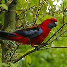 Crimson Rosella at O'Reilly's by Michael Matthews