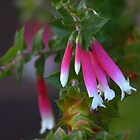 North Head Manly - Fuschia Heath by miroslava