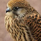 """Common Kestrel "" by peaky40"