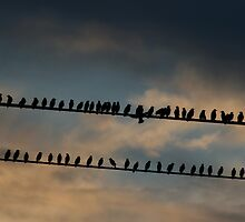 Birds on a 2 wires, Laughing at golden hour! by Daniel  Oyvetsky