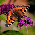 Tortoiseshell Butterfly by Ross Buchanan