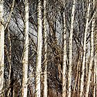 Trees in Winter © by Ethna Gillespie