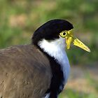 North Head Manly - Masked Lapwing by miroslava