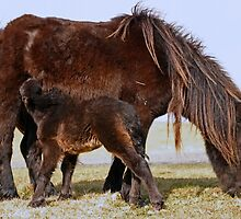 Wild Shetland Ponies - Mare & Foal by Furtographic