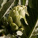 Artichoke by Ben Cordia