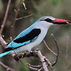 Woodland Kingfisher #1 by Kobus Olivier