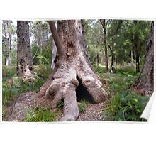 Valley of the Giants, Walpole WA Poster