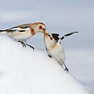 Snow Bunting Kiss by Bill McMullen