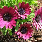 Cute Quartet of Cape Daisies Singing of Summer by MidnightMelody