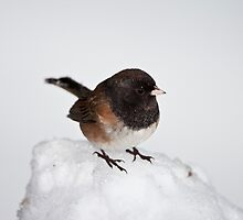 Oregon Dark Eyed Junco by Jim Stiles