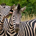 Fighting zebras by Heather  McCann
