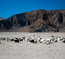 pashmina sheep by vishwadeep  anshu