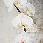 Wall Orchid by Tracy Riddell