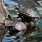 Slider Turtle Reflections by Kathy Baccari