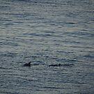 Dolphins - Delfínes by Bernhard Matejka