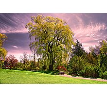Weeping Willow Tree Photographic Print