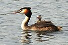 Piggy-backing Baby - Great Crested Grebes. by Alwyn Simple