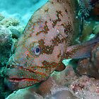 CORAL TROUT by springs