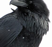 Portrait of a Raven in Winter by DWMMPhotography