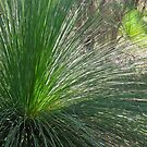 29/1 Grass Trees at Wireless Hill by Evelyn Bach