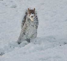 A Snow Squirrell by AnnDixon