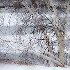 Birch in Winter by Lynn Wiles