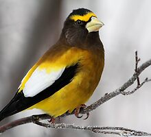 All Dressed Up / Evening Grosbeak by Gary Fairhead