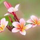 Tropical Pink - frangapani flower by Jenny Dean