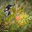 Sitting on the Grevillea by Barb Leopold