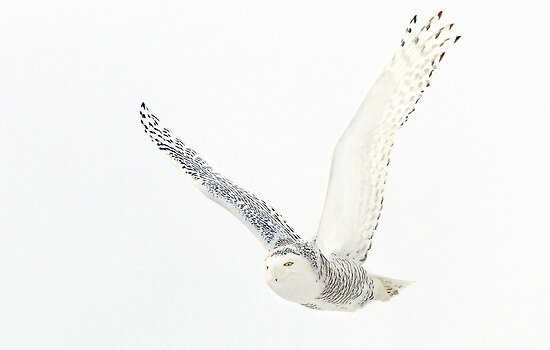 Afternoon Flight - Snowy Owl by Jim Cumming