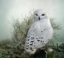 Snowy Owl by Tarrby