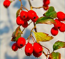 Red Berries by J-images