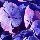 Purple Hydrangea by Lynn Bolt