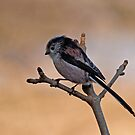 Long-tailed tit by Margaret S Sweeny