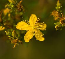 Plant, St Johns Wort, Hypericum perforatum, Flowers.  by Hugh McKean