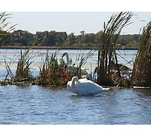 Trumpeter Swans Photographic Print